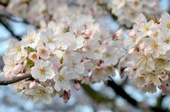 Primavera de la flor de cerezo Fotos de archivo libres de regalías