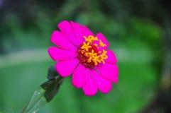 Primavera de la flor del zinnia o diseño fresca del verano Foto de archivo