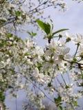 Primavera de la floración de la cereza foto de archivo