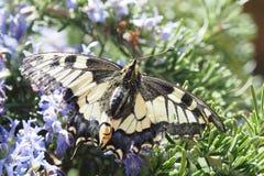 Primavera de la mariposa Fotografía de archivo libre de regalías