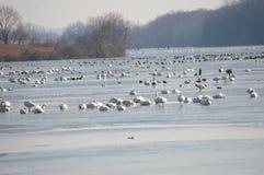 Primavera 2017 de la migración del ganso de nieve Imagen de archivo