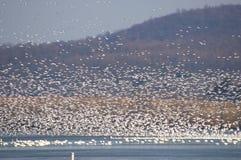 Primavera 2017 de la migración del ganso de nieve Fotografía de archivo libre de regalías