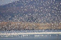 Primavera 2017 de la migración del ganso de nieve Fotografía de archivo