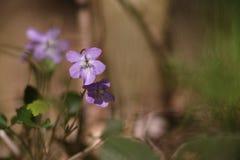 Primavera de las flores de las violetas Imágenes de archivo libres de regalías