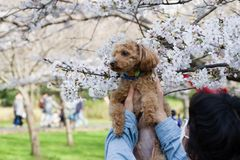 primavera de 2019 de ?rvores de cereja imagem de stock