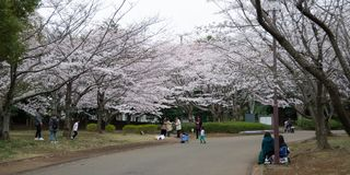 primavera de 2019 de ?rvores de cereja fotos de stock