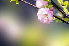Primavera de Wildrose fotos de archivo