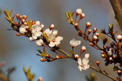 Primavera del árbol floreciente Imagenes de archivo