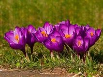 Primavera del azafrán Imagen de archivo libre de regalías