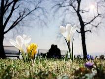 Primavera del azafrán Fotografía de archivo libre de regalías