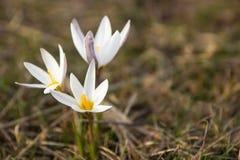 Primavera del azafrán Primeras flores del resorte Almaty, Kazajistán Imagenes de archivo