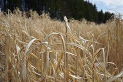 Primavera del campo de maíz fotos de archivo libres de regalías