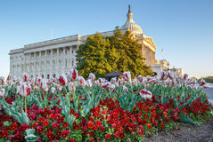 Primavera del edificio del capitolio de los E.E.U.U. de los pensamientos de los tulipanes Fotos de archivo libres de regalías