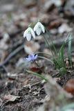 Primavera del fiore bianco di bucaneve nella foresta Fotografia Stock