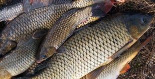 Primavera del fondo de la carpa de los pescados de la captura fotografía de archivo libre de regalías