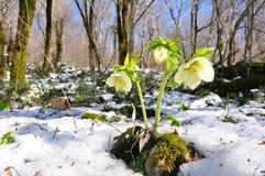 Primavera del Hellebore Imagen de archivo libre de regalías