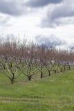 Primavera del meleto Immagine Stock