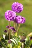 Primavera del palillo Fotos de archivo libres de regalías