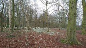 Primavera del piso del bosque del arbolado de Snowdrops Imagenes de archivo