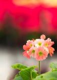 Primavera del Primula Imágenes de archivo libres de regalías