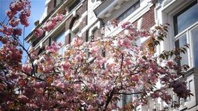 Primavera del rosa de la flor de la primavera de Sun almacen de metraje de vídeo