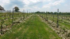 Primavera del viñedo Foto de archivo