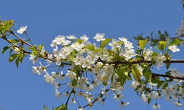 Primavera delicada fascinadora del color de la cereza en mayo Fotos de archivo