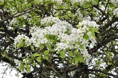 Primavera delicada fascinadora del color de la pera en mayo Imagen de archivo libre de regalías