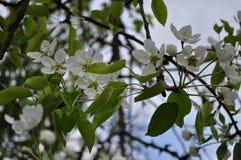 Primavera delicada fascinadora del color de la pera en mayo Foto de archivo
