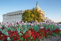 Primavera della costruzione del Campidoglio degli Stati Uniti di viole del pensiero dei tulipani Fotografie Stock Libere da Diritti
