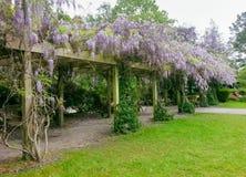 Primavera della fioritura di glicine Fotografia Stock