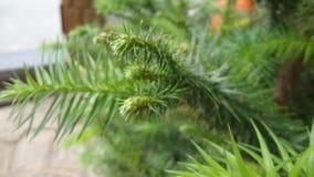 Primavera delle conifere fotografia stock libera da diritti