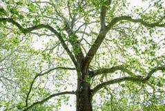 Primavera di fioritura dell'albero del sicomoro immagini stock libere da diritti