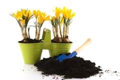 Primavera do açafrão Imagem de Stock Royalty Free