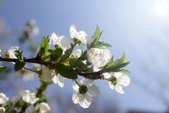 primavera e ?rvore de floresc?ncia imagem de stock