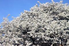 Primavera ed alberi Immagine Stock