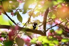 Primavera El Tit que se sienta en una rama de la manzana florece Fotografía de archivo libre de regalías