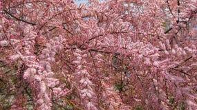 Primavera en la arboleda del tamarisk Foto de archivo libre de regalías