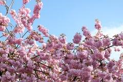 Primavera en la ciudad Flor Sakura Imágenes de archivo libres de regalías