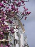 Primavera en la ciudad Tuliptree floreciente cerca de una construcción de viviendas Imágenes de archivo libres de regalías