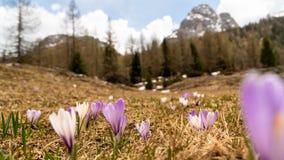 Primavera en las montañas Paisaje hermoso de la montaña Floración de las azafranes Foco selectivo fotografía de archivo