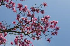 Primavera en Londres ` De Leonard Messel del ` de la magnolia, flor rosada y abertura del brote en árbol Imagen de archivo libre de regalías