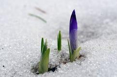 El azafrán brota en nieve de fusión Foto de archivo libre de regalías