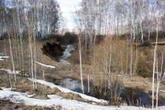 Primavera en un bosque del abedul Foto de archivo libre de regalías