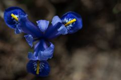 Primavera, fiore blu dell'iride su un fondo scuro Fotografie Stock