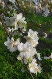 Primavera, fiore di di melo fotografia stock libera da diritti