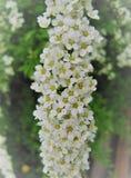 Primavera, fiori bianchi Fotografia Stock Libera da Diritti