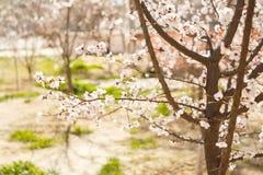 Primavera, fioritura degli alberi albicocca sunlight Fotografia Stock