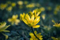 Primavera, flor amarilla, flor de la primavera, planta de jardín, la primera flor de la planta de la primavera Imágenes de archivo libres de regalías