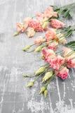 Primavera Flor rosada fresca del eustoma en fondo concreto estilo plano de la endecha con el espacio para el texto Día para mujer foto de archivo libre de regalías